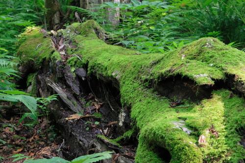 倒木 世界遺産:白神山地: 倒木